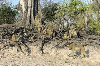 Baboons (1)