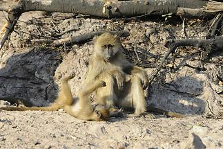 Baboons (2)