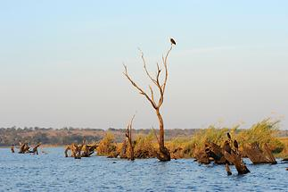 Chobe Sea Eagle