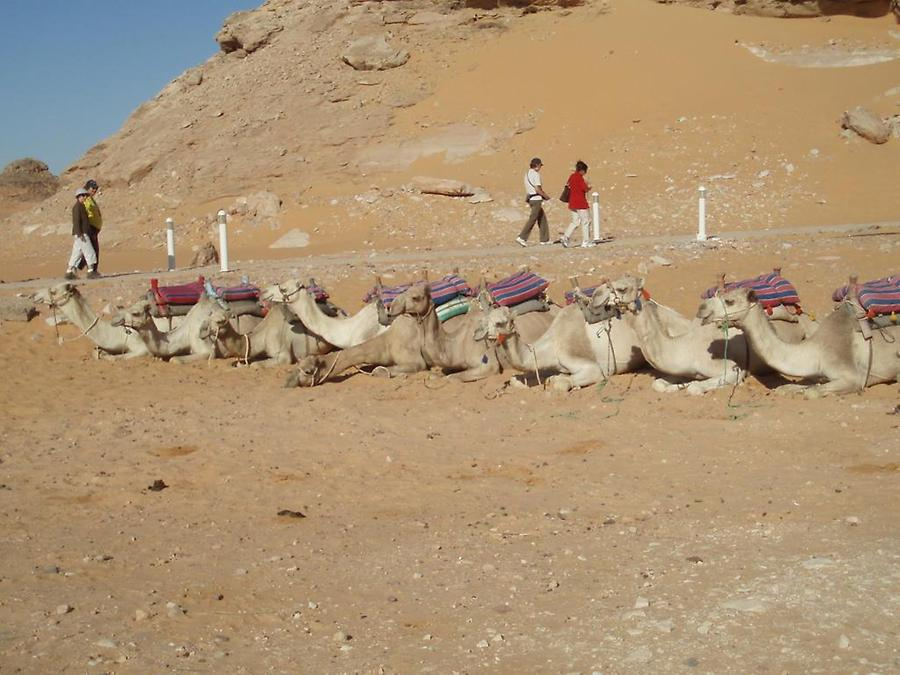 Camels, Temple of Amada
