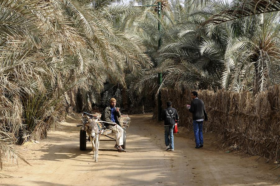 Siwa Oasis - Palm Grove