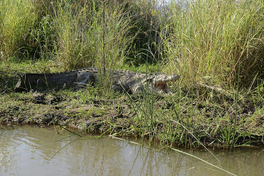 Lake Chamo - Crocodile