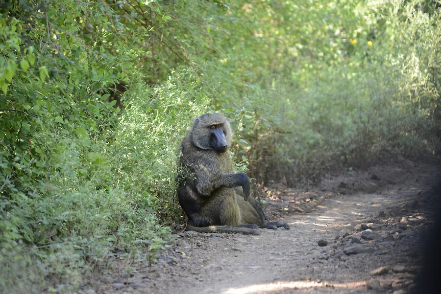 Nechisar National Park - Baboon