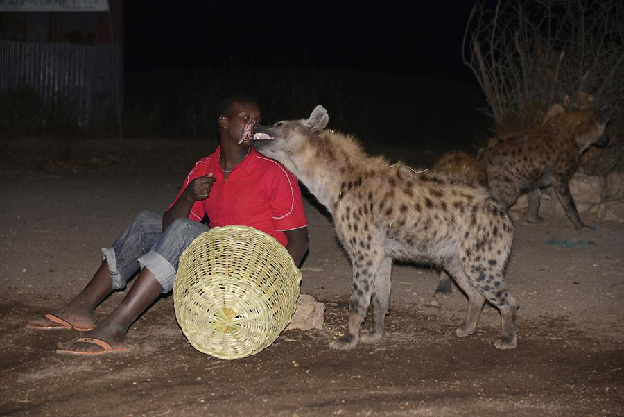Feeding Meat to Hyenas