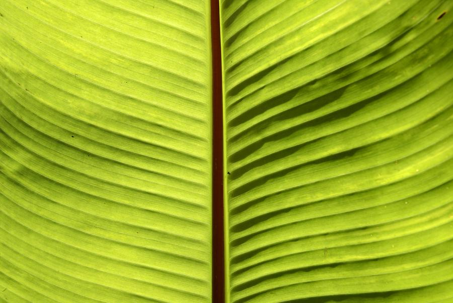 Banana Tree - Detail