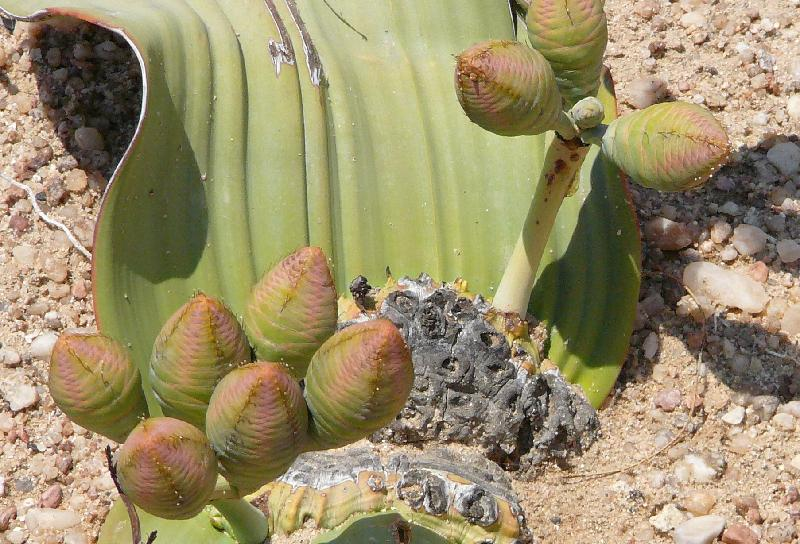 Fruit of the Welwitschia