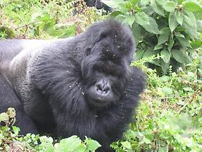Mountain Gorilla (2)