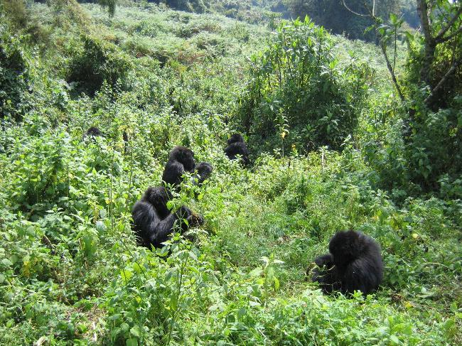 Group of Mountain Gorillas