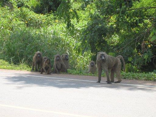 Wild Baboons
