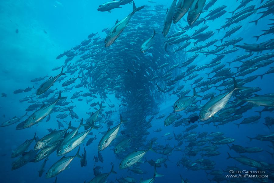 Among thousand fishes. Diving with Caranx. Malpelo Island, Colombia, © AirPano