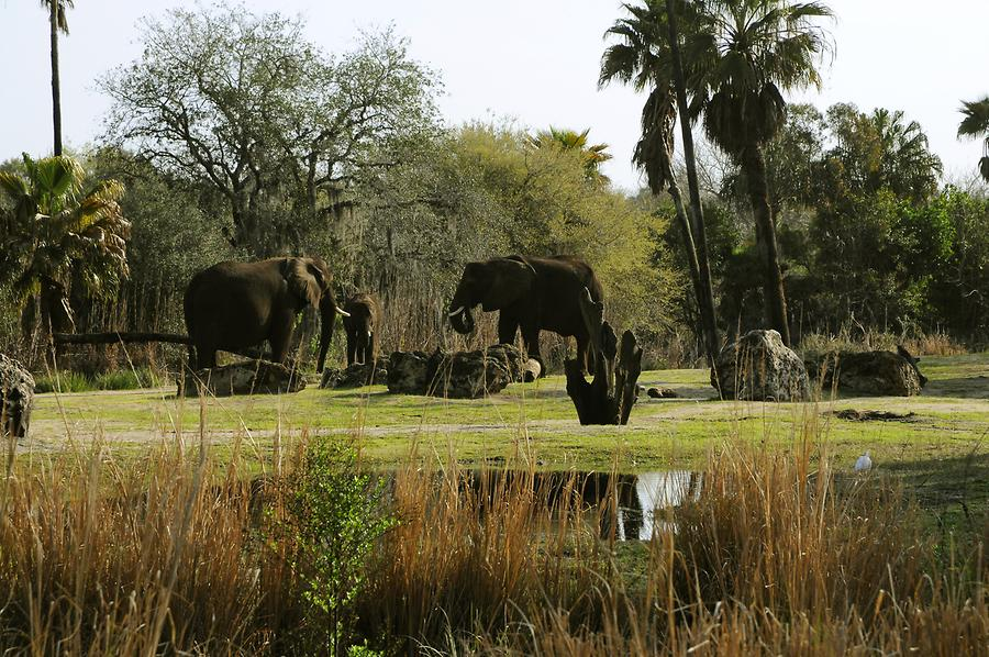 Animal Kingdom - 'Africa'; Elephants