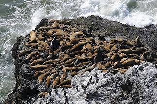 Sea Lions near Heceta Head Lighthouse