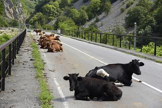 Tskhenistsqali Valley - Cows