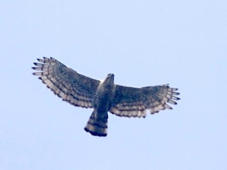Javan hawk, Foto: source: Wikicommons unter CC