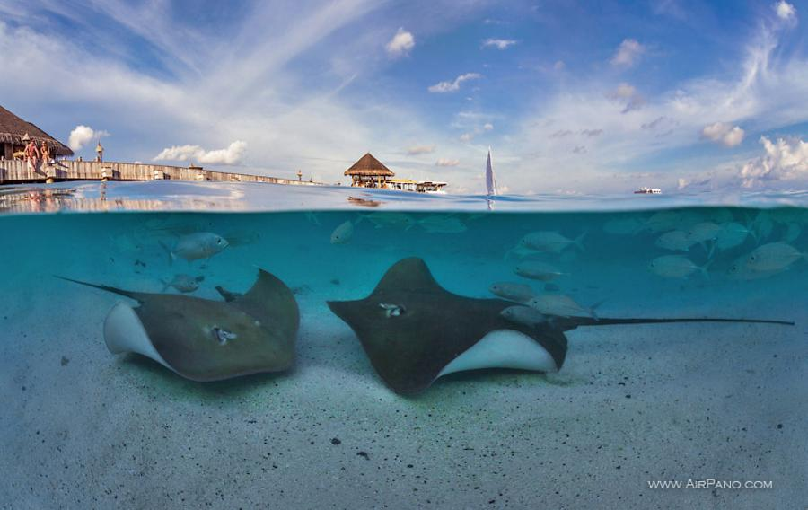 Stingrays. Split panorama