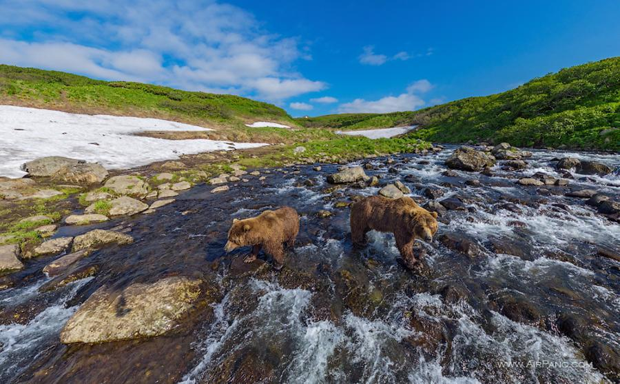 Bears in the Kambalnaya river