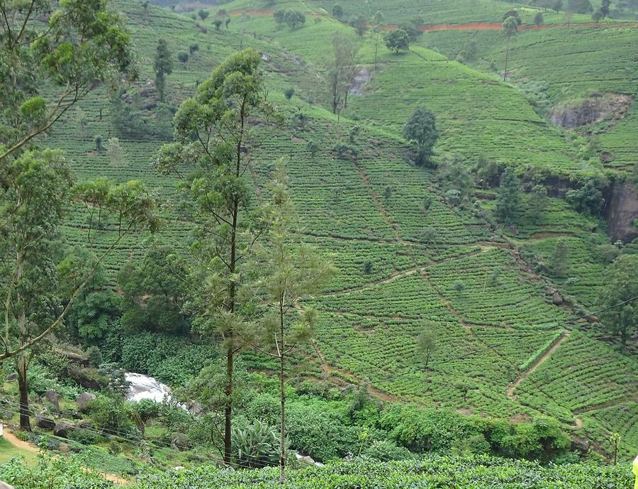 From Kandy to Nuwara Eliya - Tea Plantation