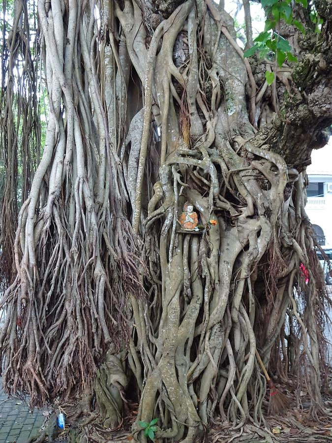 Galle - Fig Tree