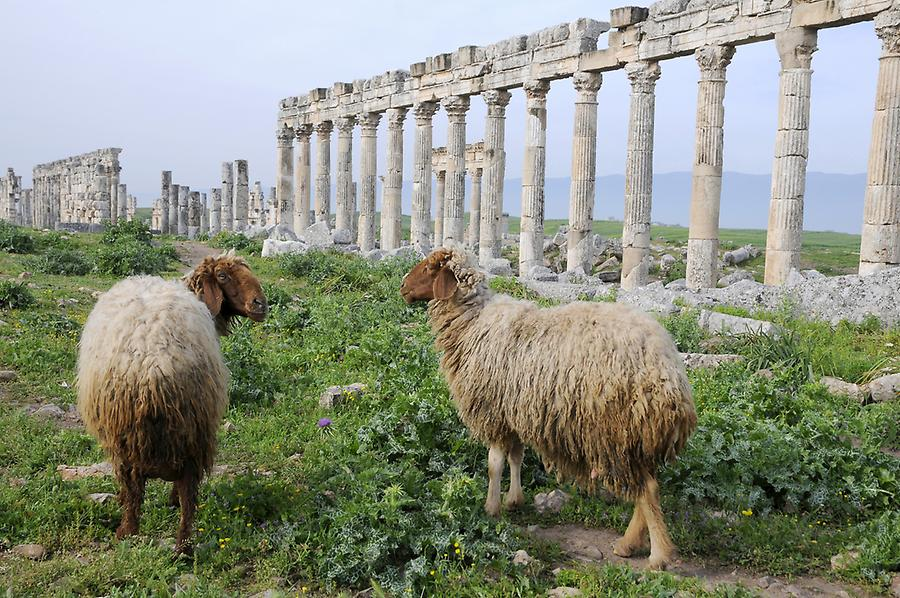 Sheep in Apameia