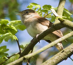 Common Nightingale, Foto: source: Wikicommons unter CC