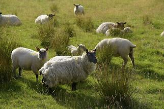 Glenveagh National Park - Sheep (1)