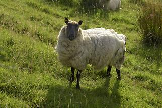 Glenveagh National Park - Sheep (2)