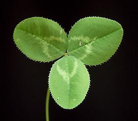 Leaf of Trifolium repens