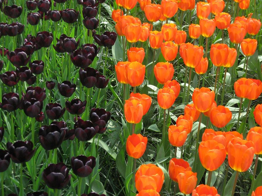 Keukenhof, orange ad dark tulips