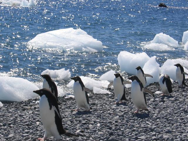 Adelie penguins (1)