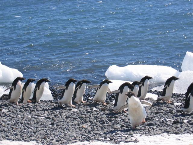 Adelie penguins (2)