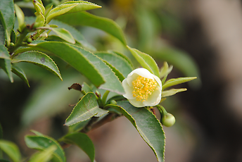 Blossom and leaves of the tea-bush