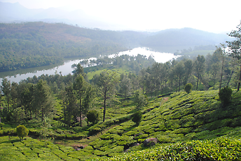 Typical area for growing tea